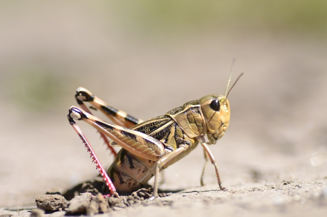grasshopper lay eggs