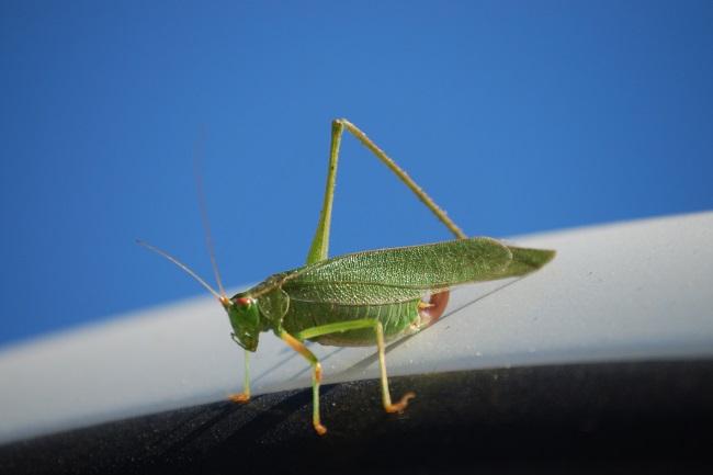 grasshopper lost leg