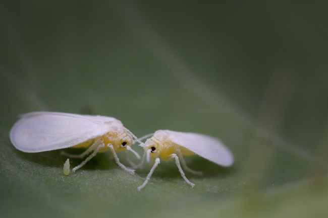 Are Whiteflies Harmful to Humans featured