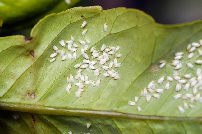 How to Deal with Whiteflies on Plants featured