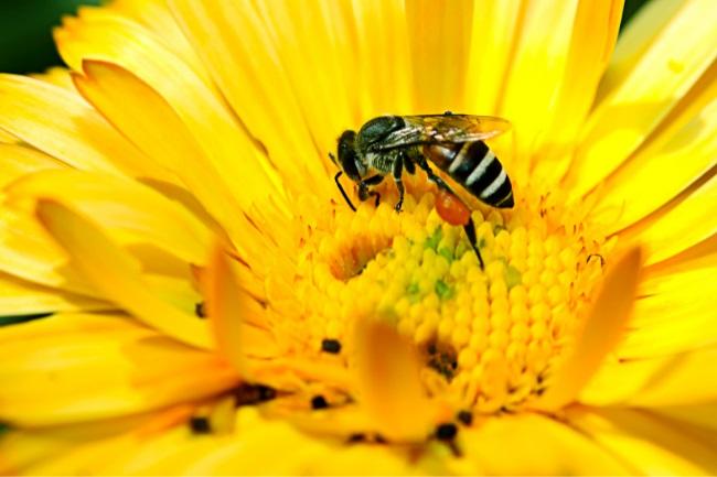 bees eat pollen