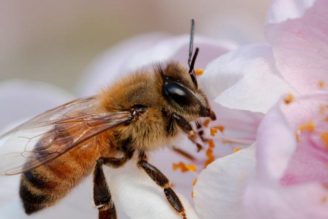honey bees eyes