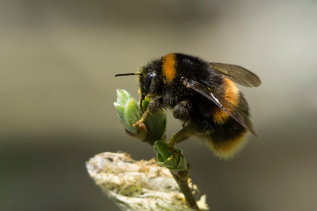 Can a Bumblebee Sting You Is it Painful featured