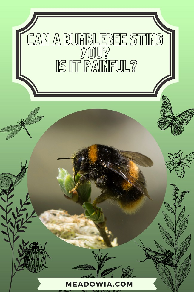 Can a Bumblebee Sting You Is it Painful pin by meadowia