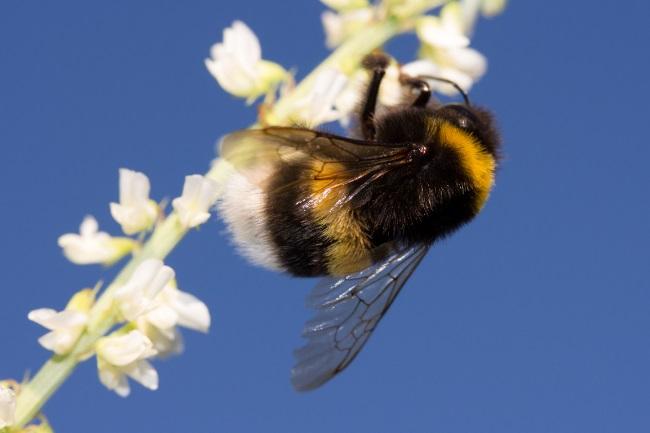 Do Bumblebees make Honey featured