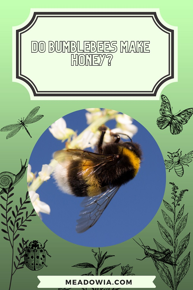Do Bumblebees make Honey pin by meadowia