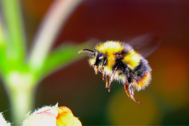 How Long Does a Bumblebee Live featured