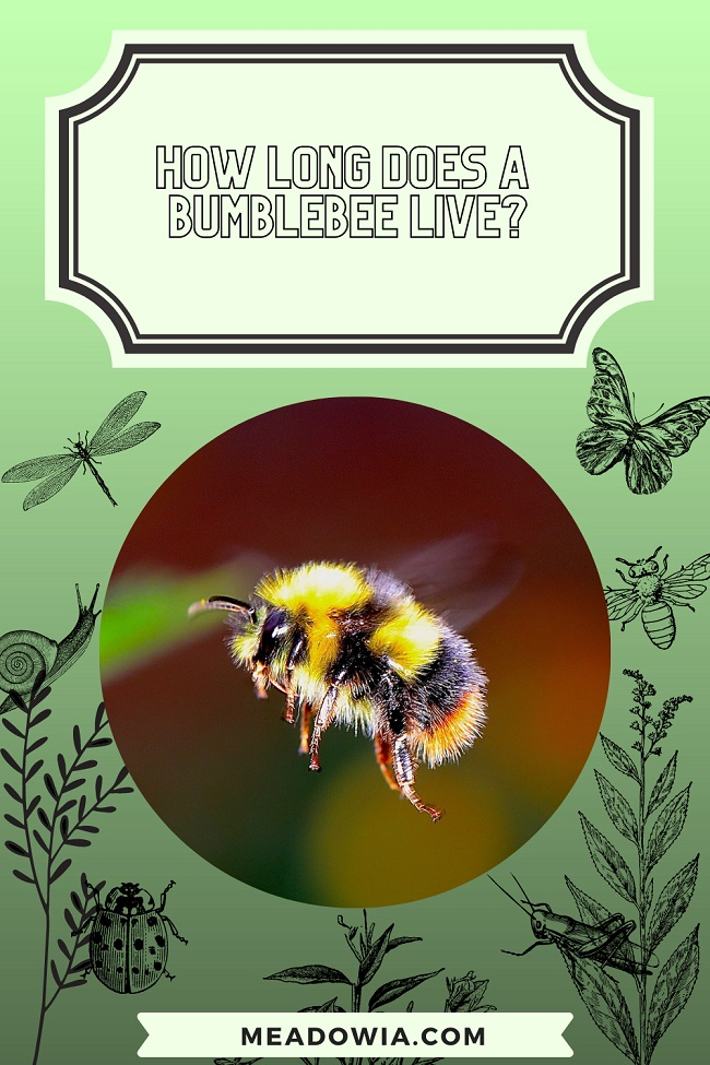 How Long Does a Bumblebee Live pin by meadowia