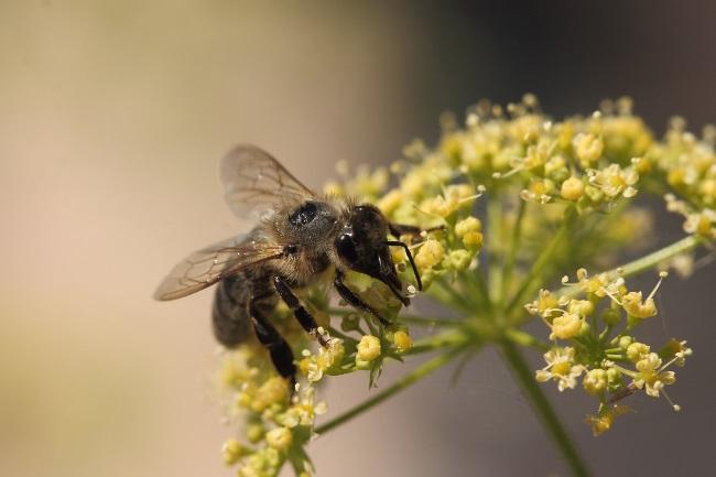 The black honeybee