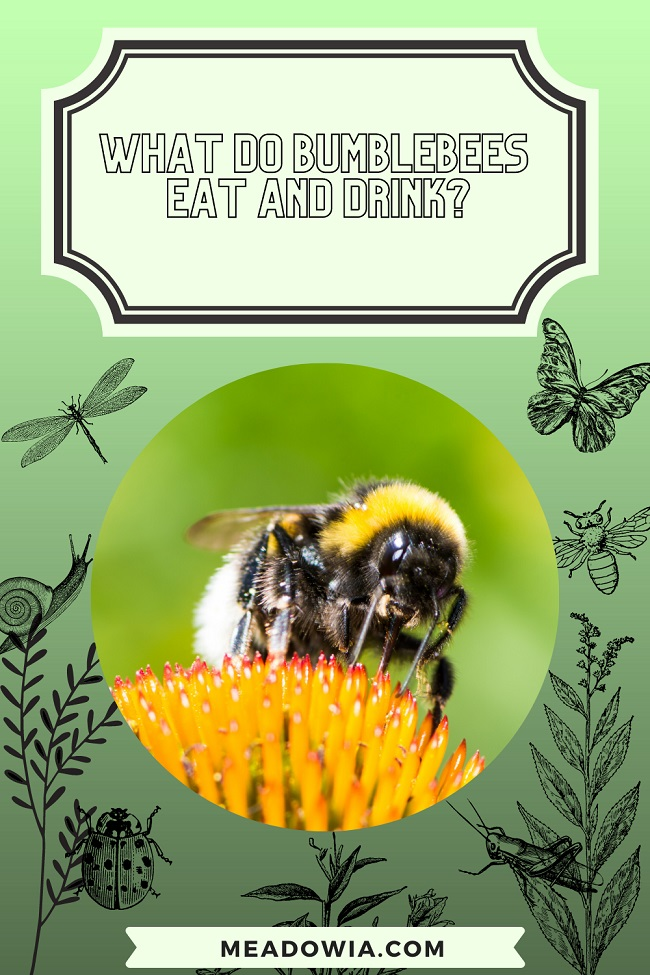 What do Bumblebees Eat and Drink pin by meadowia