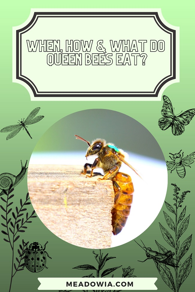 When, How & What do Queen Bees Eat pin by meadowia