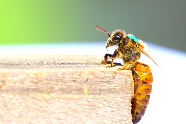 When, How & What do Queen Bees Eat featured