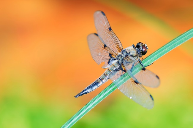 How Long does a Dragonfly Live for featured
