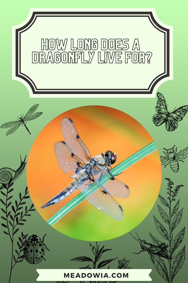 How Long does a Dragonfly Live for pin by meadowia