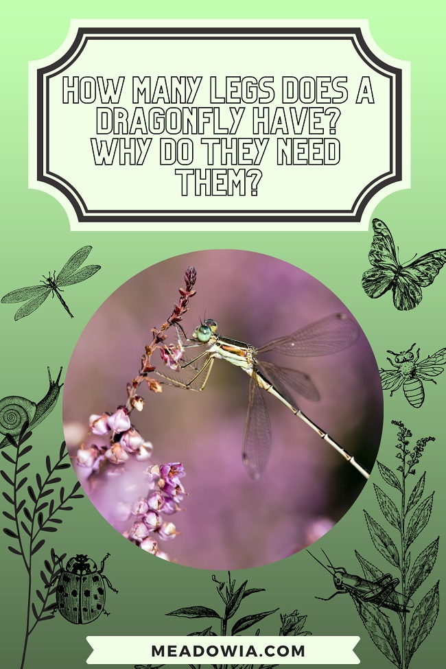 How Many Legs Does a Dragonfly have Why do They Need Them pin by meadowia