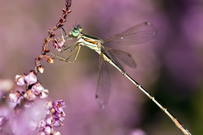 How Many Legs do a Dragonfly have Why do They Need Them featured