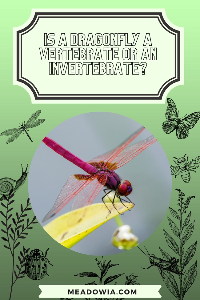 Is a Dragonfly a Vertebrate or an Invertebrate pin by meadowia