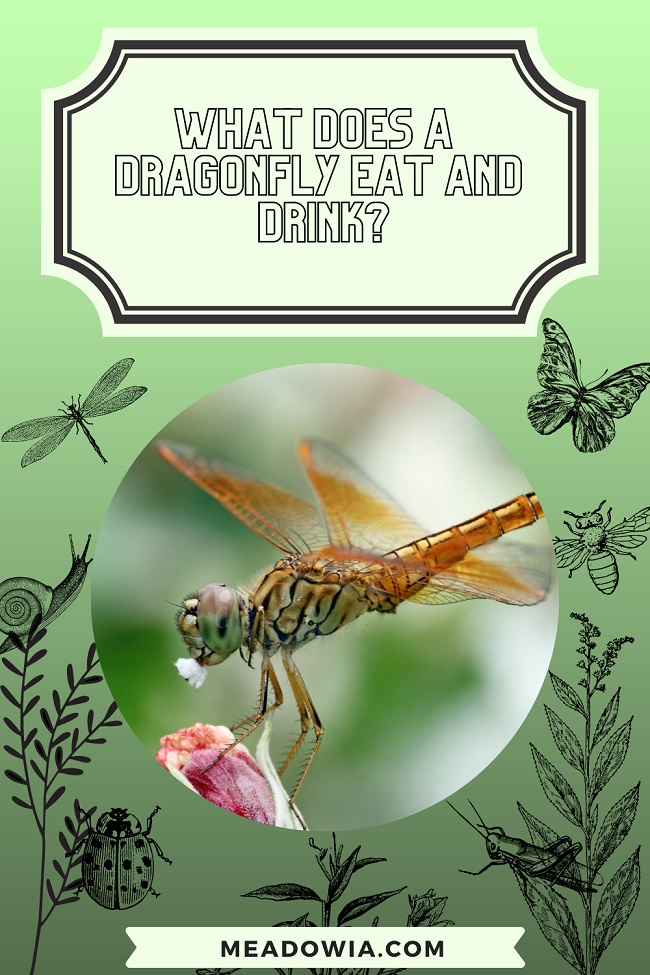 What Does a Dragonfly Eat and Drink pin by meadowia