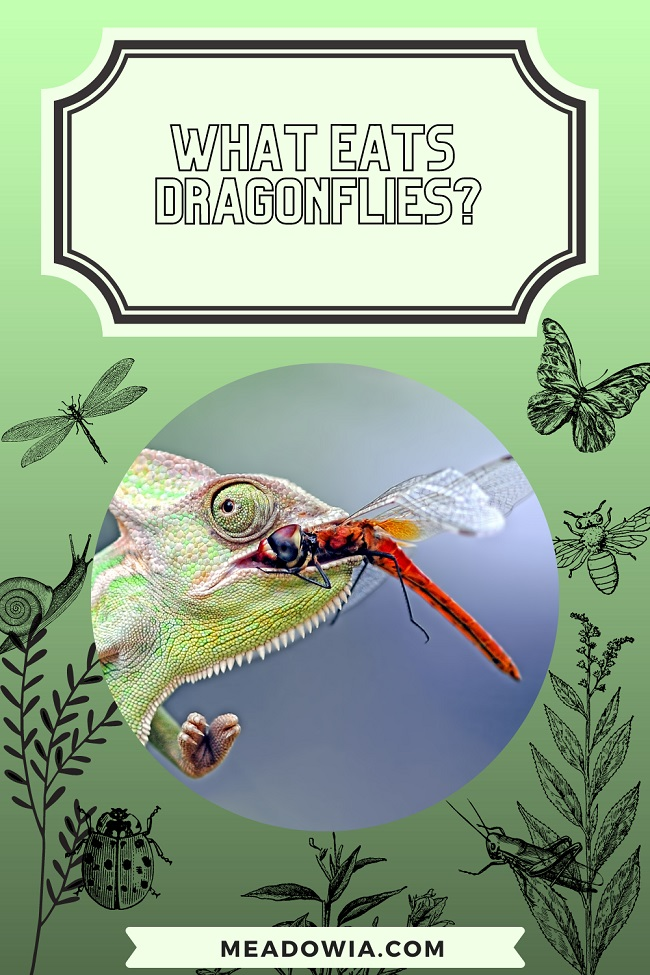What Eats Dragonflies pin by meadowia