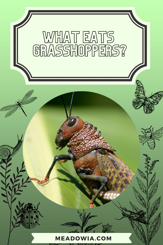What Eats Grasshoppers pin by meadowia