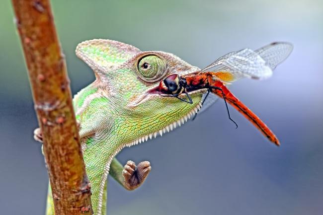 What eats dragonflies