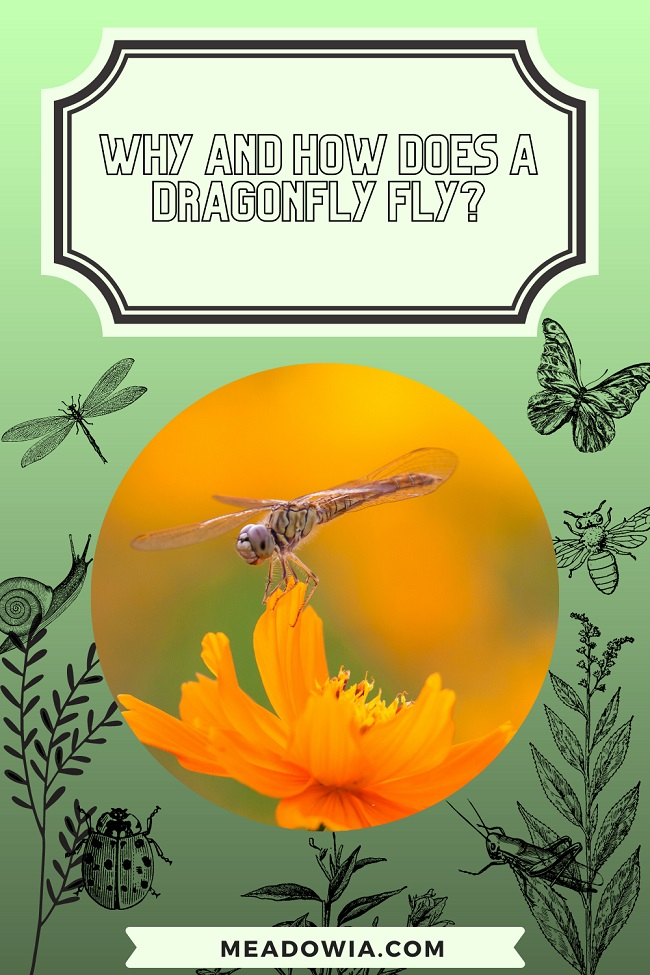 Why and How Does a Dragonfly Fly pin by meadowia
