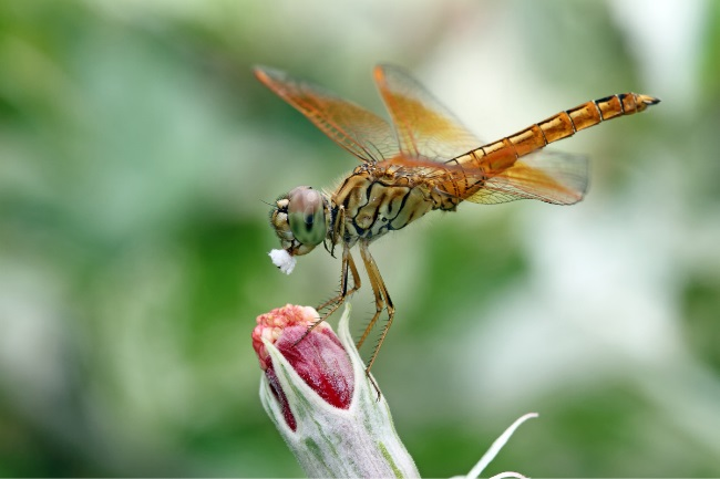 dragonfly eat