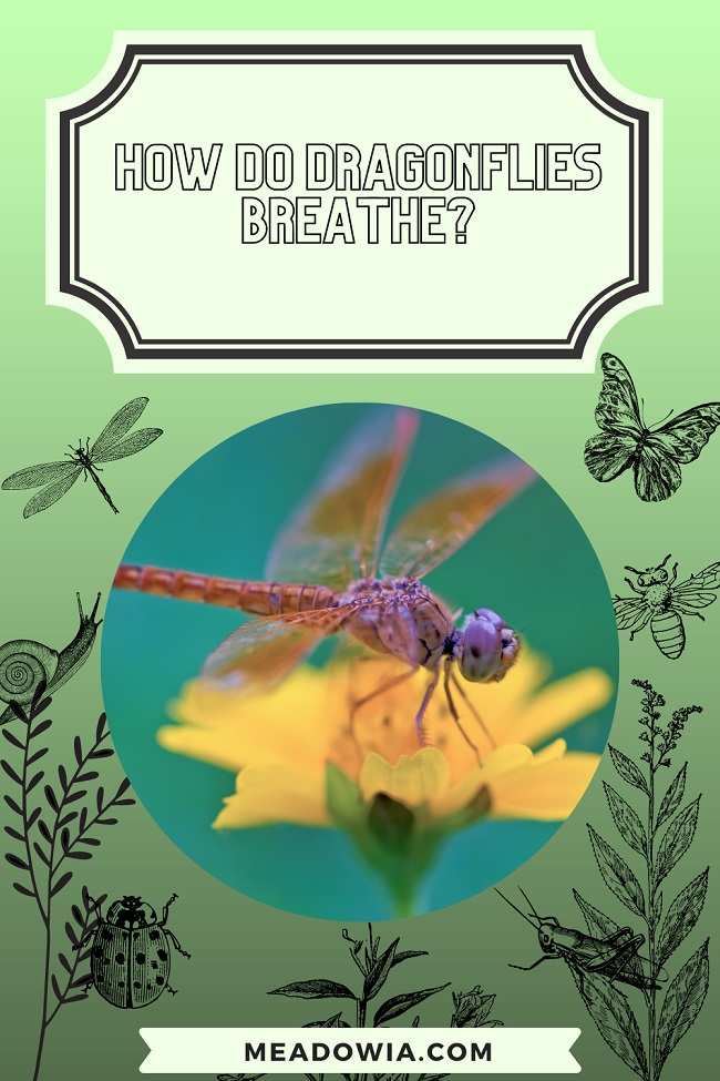 How do Dragonflies Breathe pin by meadowia