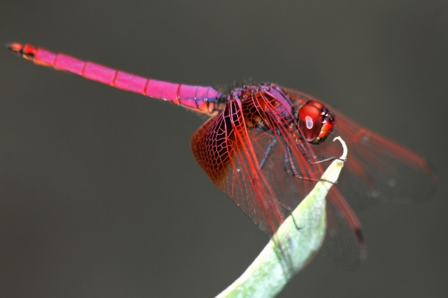 Is a Dragonfly a Herbivore, Carnivore or Omnivore featured