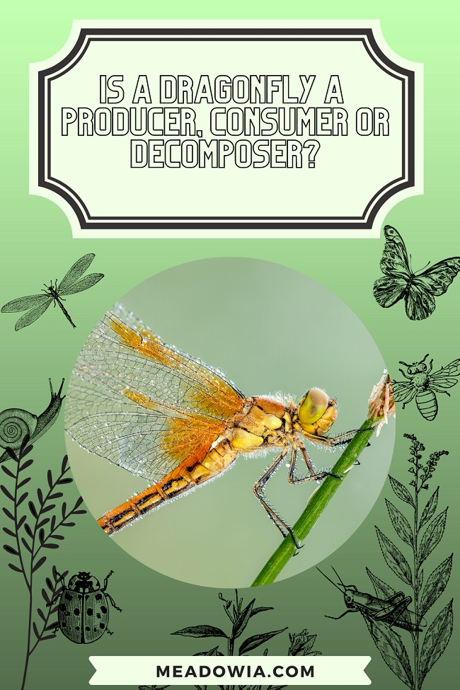 Is a Dragonfly a Producer, Consumer or Decomposer pin by meadowia