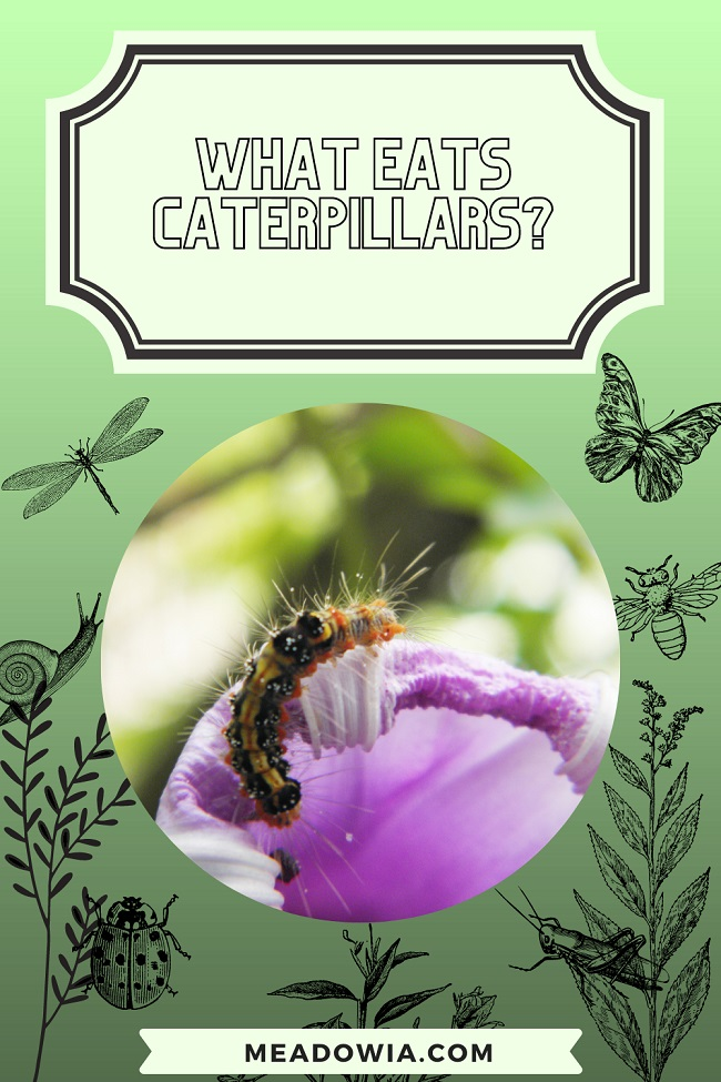 What Eats Caterpillars pin by meadowia