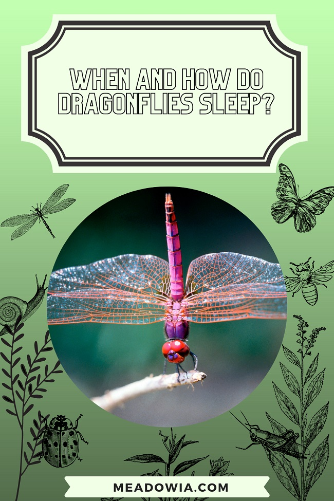 When and How do Dragonflies Sleep pin by meadowia