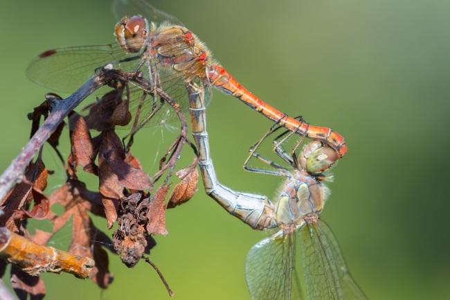 dragonflies mate