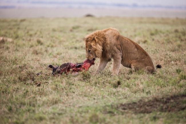 lion carnivore