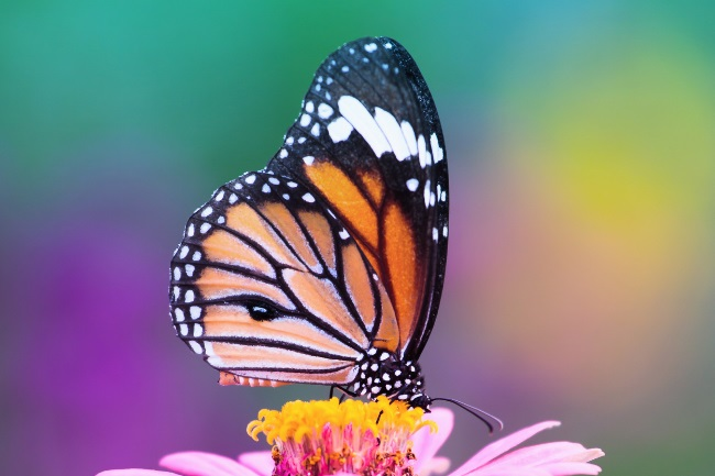 Can Butterflies Sting How do They Protect Themselves featured