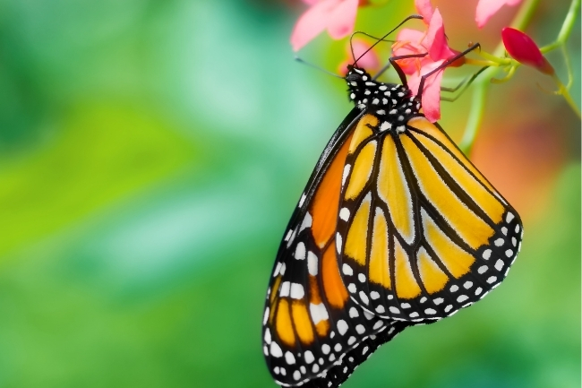 What do Butterflies Eat and Drink featured