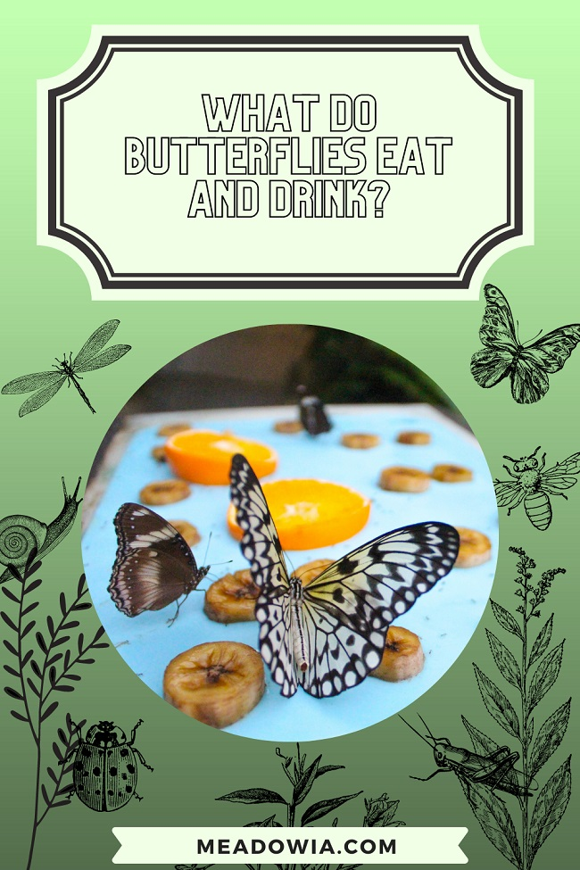 What do Butterflies Eat and Drink pin by meadowia