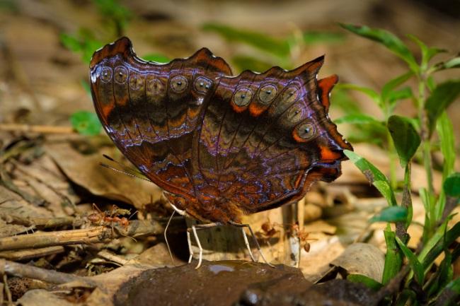 butterflies poop