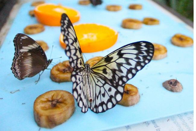butterfly banana