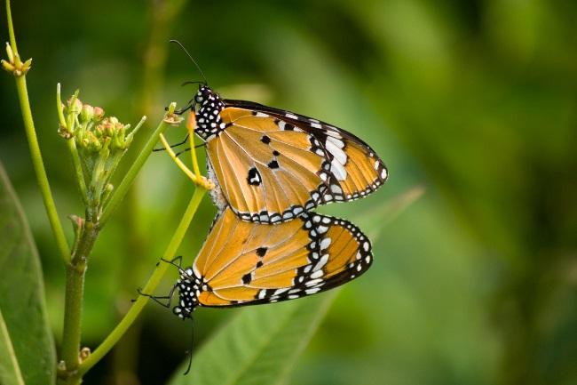 Butterflies Mate