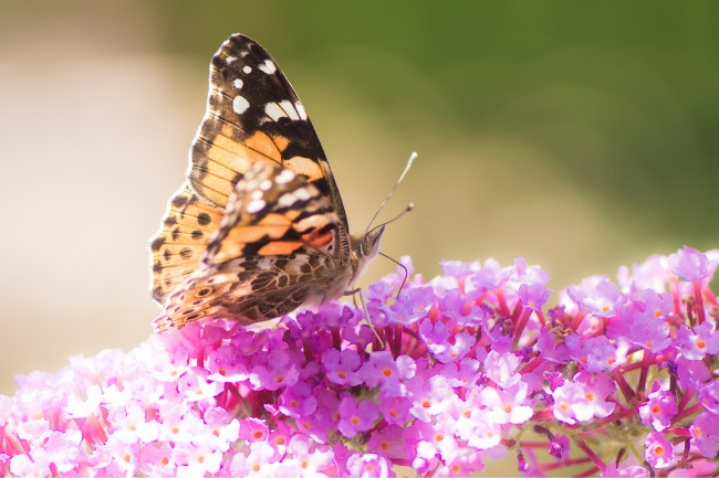 Do Butterflies Migrate Which Species and Why featuered