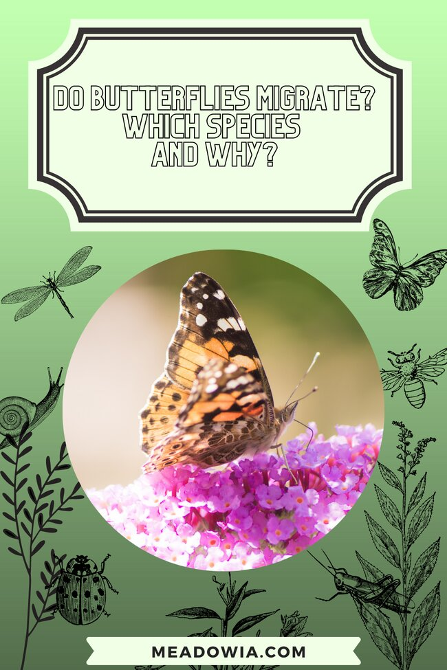 Do Butterflies Migrate Which Species and Why pin by meadowia