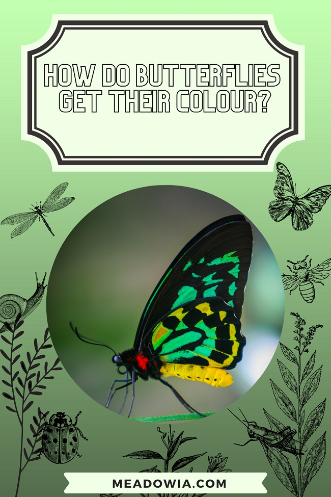 How do Butterflies get their Colour pin by meadowia